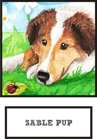 sable-pup-sable-sheltie-thumb.jpg